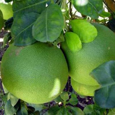 Pomelo with green skin