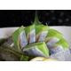 Komochi wasabi sashimi-6 pieces